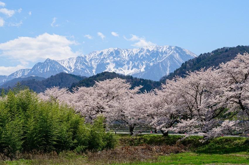満開桜と大山