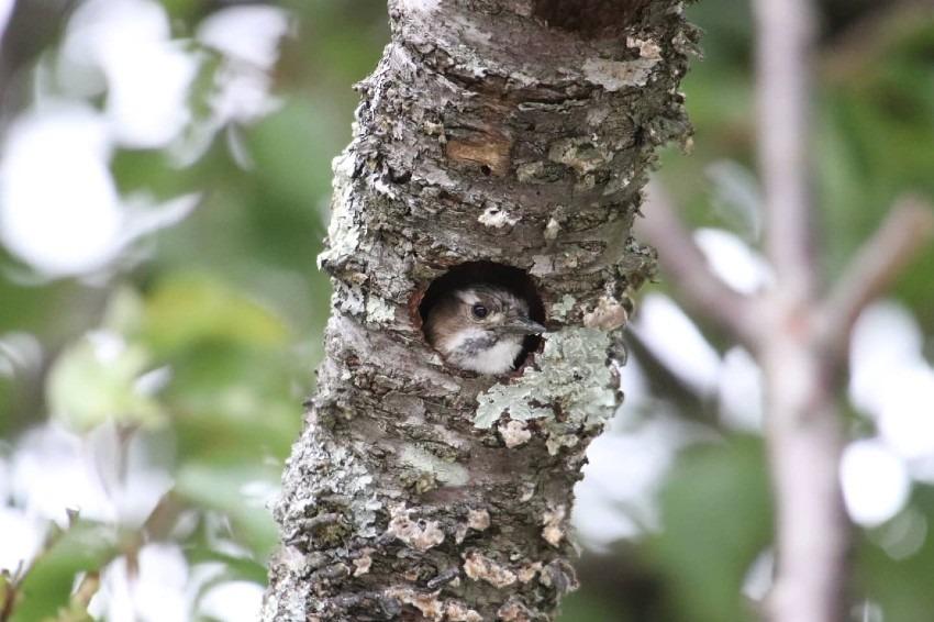 春  コゲラの巣作り